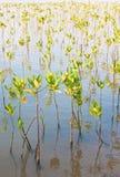 Giovane foresta delle mangrovie Fotografie Stock