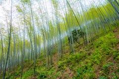 Giovane foresta di bambù Fotografia Stock Libera da Diritti