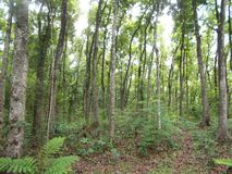 Giovane foresta di mogano a Java 2 fotografie stock