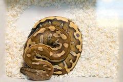 Giovane foto del serpente da sopra immagini stock libere da diritti