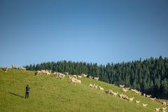 Giovane fotografo maschio che prende foto in allevamento di pecore Fotografia Stock Libera da Diritti