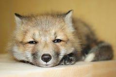 Giovane Fox rosso Immagini Stock Libere da Diritti
