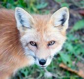 Giovane Fox rosso che esamina macchina fotografica Fotografia Stock Libera da Diritti