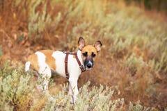 Giovane fox terrier liscio Fotografie Stock