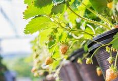 Giovane fragola della frutta Immagine Stock Libera da Diritti