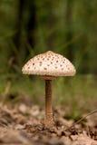 Giovane fungo di parasole Immagine Stock