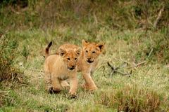 Giovane funzionamento del cub di leone Fotografia Stock