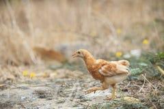 Giovane funzionamento del pollo nel fileld Fotografia Stock Libera da Diritti