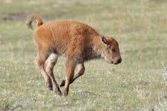 Giovane funzionamento di Bison Calf in Yellowstone fotografie stock