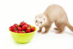 Giovane furetto con una ciotola di bianco eccessivo strewberry. Fotografie Stock