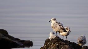 Giovane gabbiano mediterraneo Fotografia Stock Libera da Diritti