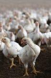 Giovane gallina bianca che esamina macchina fotografica in un'azienda avicola del pollo. Fotografia Stock