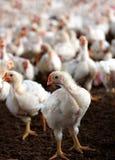 Giovane gallina bianca con un gruppo di pollo Fotografie Stock
