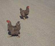 Giovane gallina grigia del pollo due immagine stock