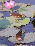 Giovane gallinella d'acqua comune due Fotografie Stock