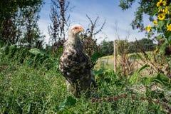 Giovane gallo di Brahma in copertura vegetale naturale alta Fotografie Stock