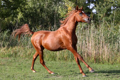 Giovane galoppo leggero arabo dello stallone del purosangue sul recinto per bestiame di estate Fotografia Stock