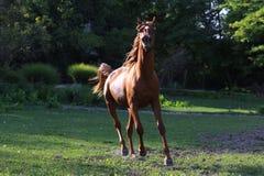 Giovane galoppo leggero dello stallone del purosangue sul prato di estate Immagine Stock Libera da Diritti