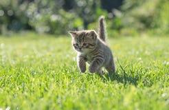 Giovane gattino che salta o che corre nell'erba verde Fotografia Stock