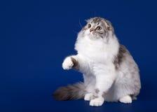 Giovane gattino del popolare dell'altopiano dello scotish Fotografia Stock