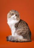 Giovane gattino del popolare dell'altopiano dello scotish Immagini Stock