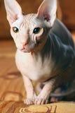 Giovane gattino dello sphinx Immagini Stock Libere da Diritti