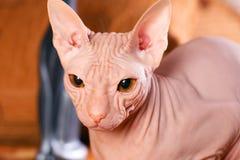 Giovane gattino dello sphinx Fotografie Stock Libere da Diritti