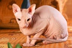 Giovane gattino dello sphinx Immagine Stock