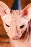 Giovane gattino dello sphinx Fotografia Stock