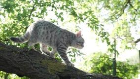 Giovane gattino scozzese che si siede in un albero stock footage