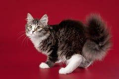 Giovane gattino siberiano Immagini Stock