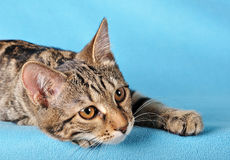 Giovane gatto Immagine Stock
