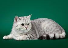 Giovane gatto britannico Immagine Stock Libera da Diritti