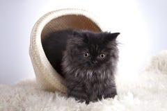 Giovane gatto in cestino Immagini Stock