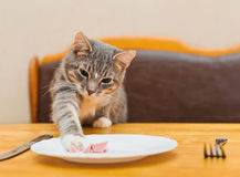 Giovane gatto che mangia alimento dal piatto della cucina Immagini Stock