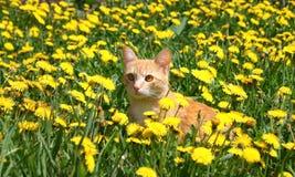 Giovane gatto dello zenzero Immagini Stock