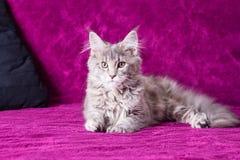 Giovane gatto di Coon della Maine Fotografia Stock Libera da Diritti