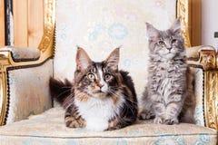Giovane gatto di Coon della Maine Fotografie Stock Libere da Diritti