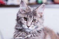 Giovane gatto di Coon della Maine Immagine Stock