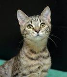 Giovane gatto di soriano Fotografie Stock