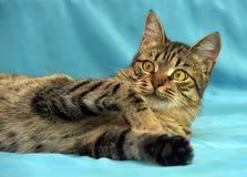 Giovane gatto di soriano bello Fotografie Stock Libere da Diritti