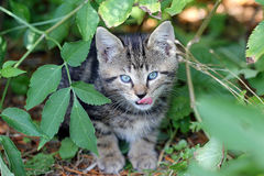 Giovane gatto domestico Fotografia Stock Libera da Diritti
