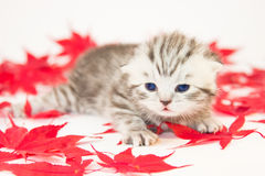 Giovane gatto fra le foglie di autunno rosse Fotografia Stock Libera da Diritti