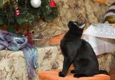 Giovane gatto nero che si siede su uno sgabello Fotografia Stock