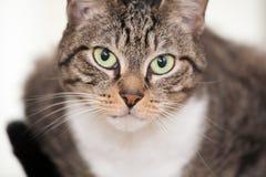 Giovane gatto osservato verde Fotografie Stock Libere da Diritti
