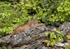 Giovane gatto selvatico Fotografie Stock
