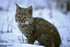 Giovane gatto selvatico in neve Fotografie Stock