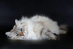 Giovane gatto siberiano Immagini Stock