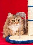 Giovane gatto siberiano Fotografia Stock