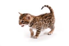 Giovane gatto su priorità bassa bianca Fotografia Stock Libera da Diritti